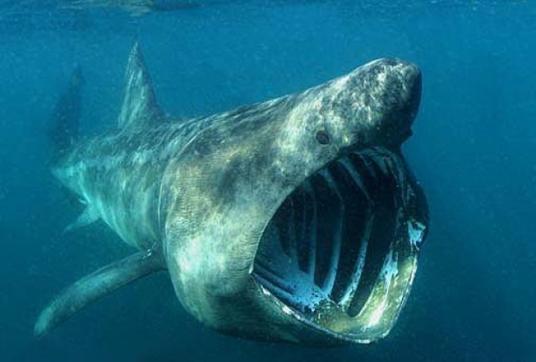 greenland shark.png