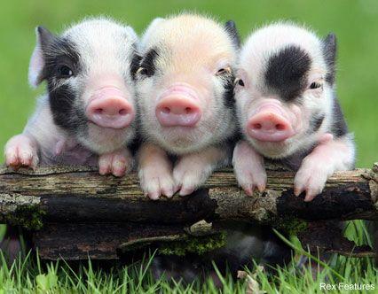 59f91f8f42cf88993deeeafb67134001-three-little-pigs-baby-piglets